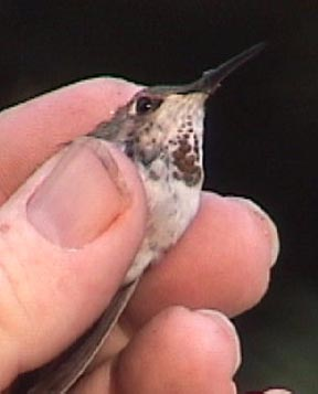 Female Rufous Hummingbird     November 2003