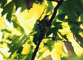 Ruby Throated Hummingbird nest  Hillsborough River State Park  March 1999