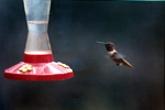 Allen's Hummingbird     Alligator Point, FL     March 2002